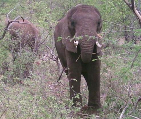 Elephants in Mokolodi, Botswana