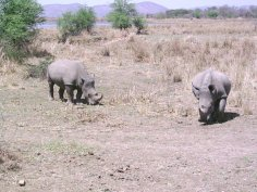Tracking rhinos on foot & finding them!