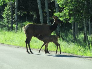 Elk and baby near our house in the road on Conifer Mountain