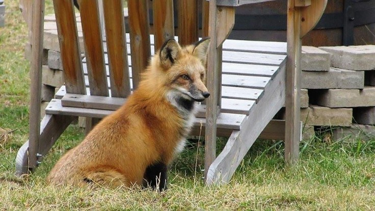 Foxy lady at our fire pit in the front yard