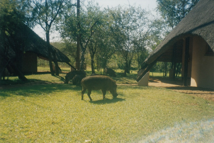 Warthog in lodge garden