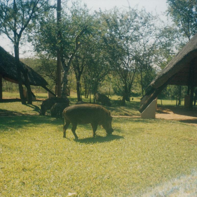 Warthog in lodge garden